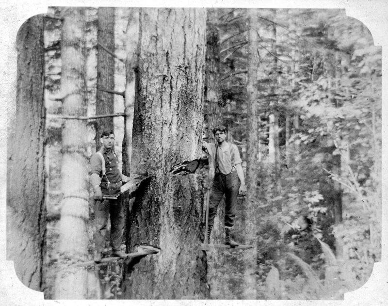 Woodsmen on planks felling a tree.