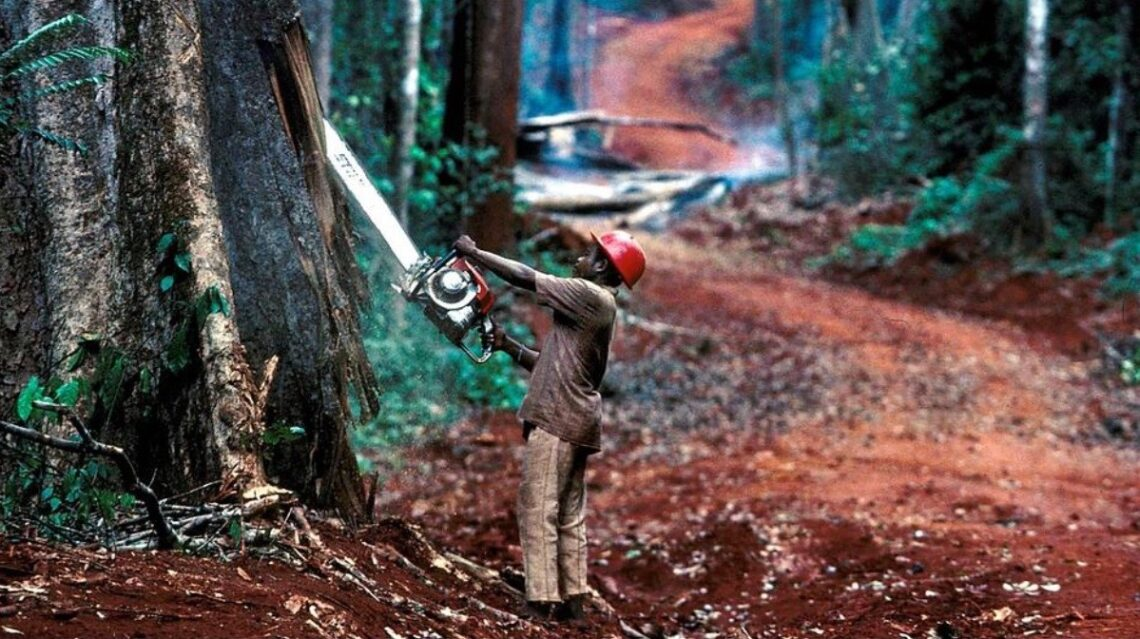 Republic of Central Africa, felling a Sipo tree.