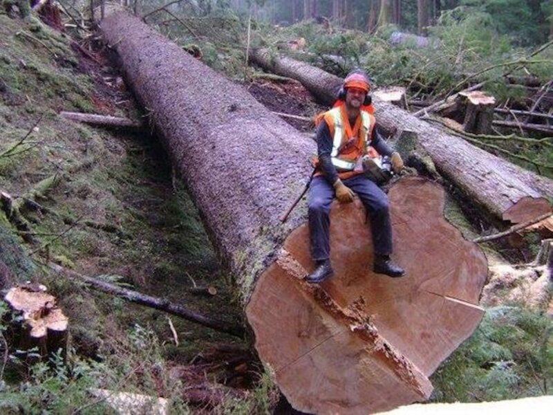 Woodsman felling big logs.