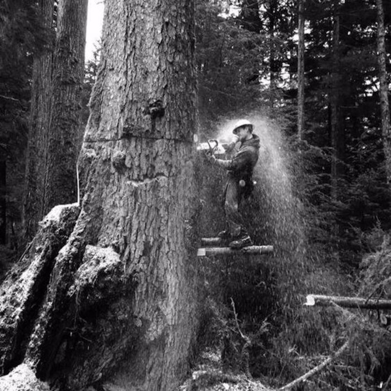Chainsawyer felling a tree up on planks.