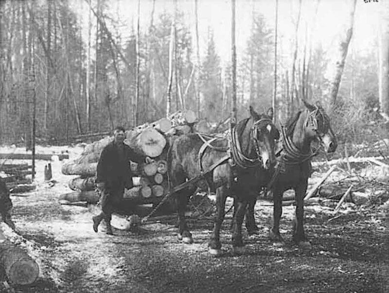Horses sledding logs during the winter
