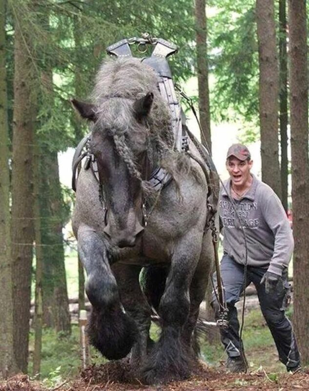 Looks like an Ardennes horse hauling logs.
