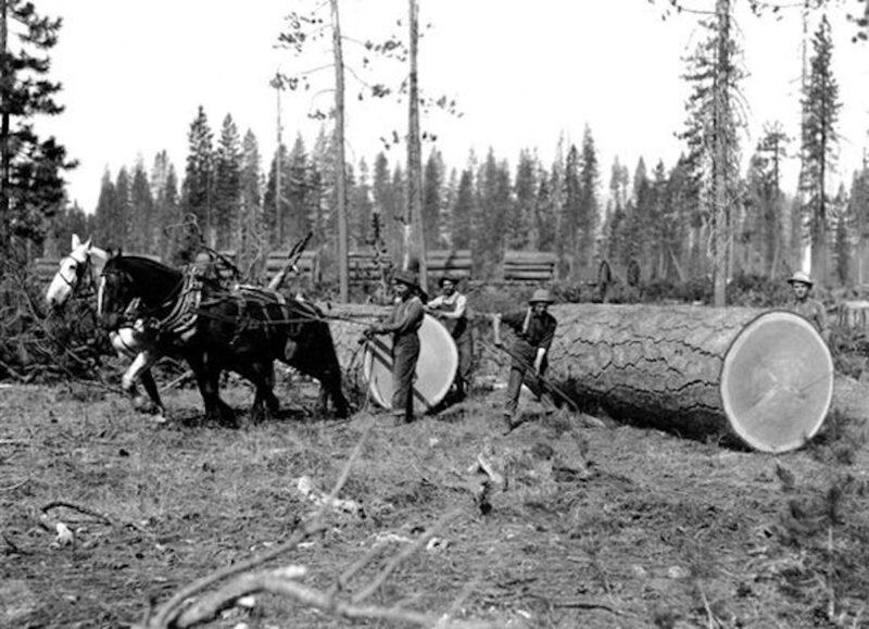 Draft horses skidding logs.