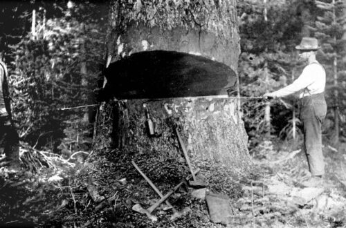 Photograph shows two men with cross-cut saw felling a tree.