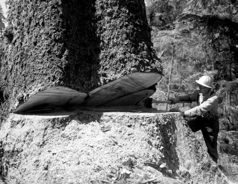 Logger inspects the hinge cut before proceeding with the fall.