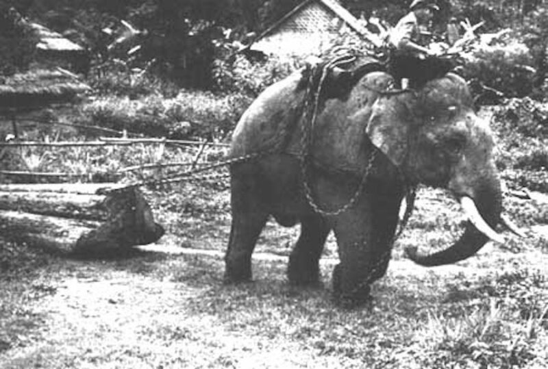 An elephant skidding logs.
